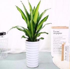 螺旋也门铁_【办公室绿植】盆栽_办公室植物_办公室大型绿色植物|图片|价格